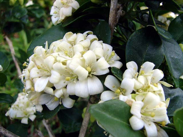 زهرة الياسمين - صور زهرة الياسمين -  Jasmin Flower